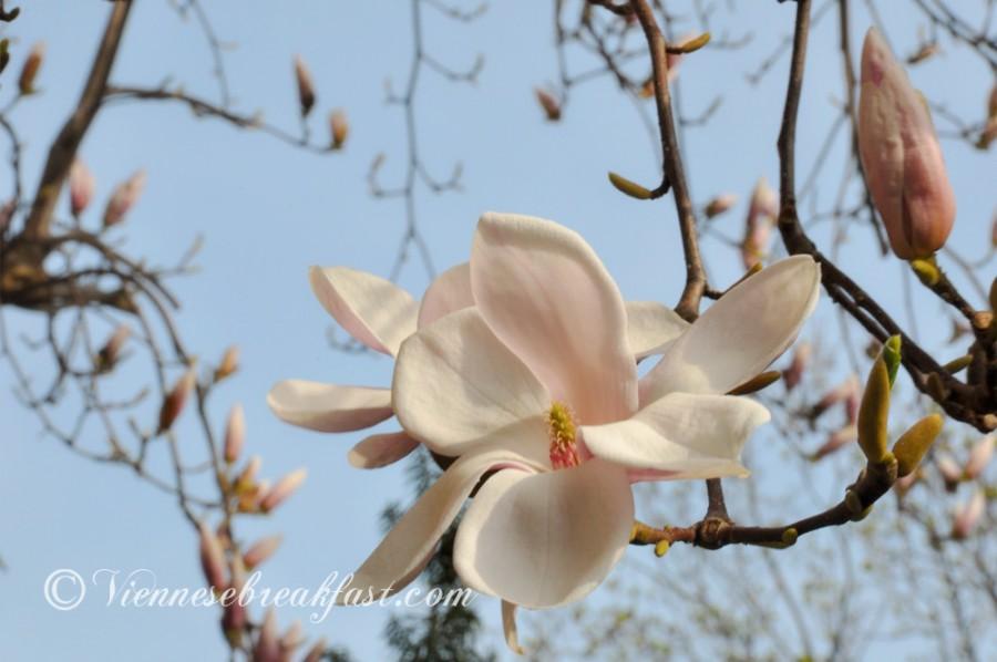magnolia3