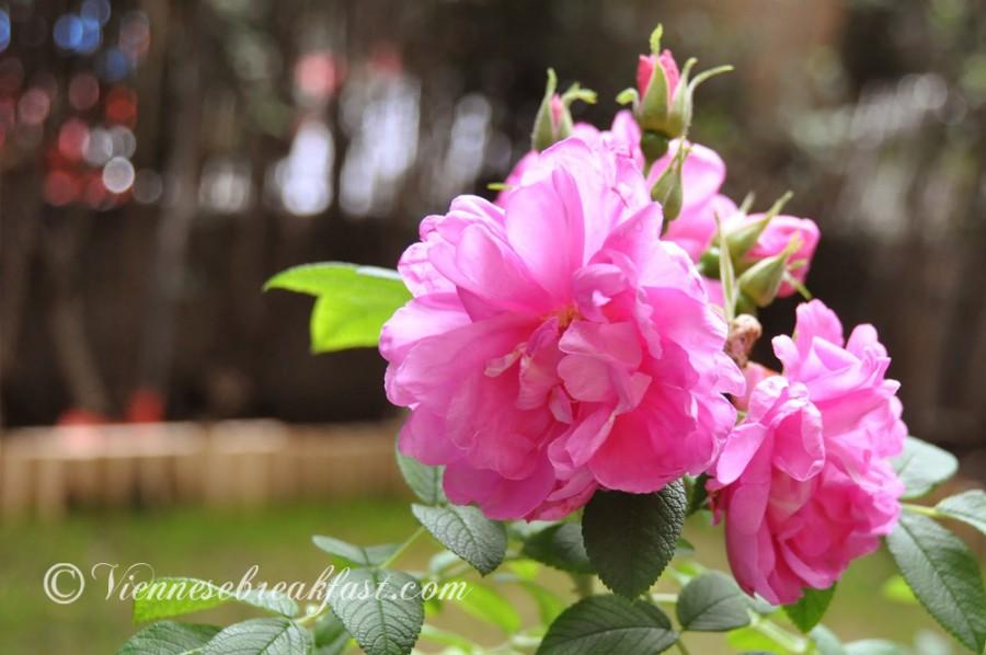 roza-14