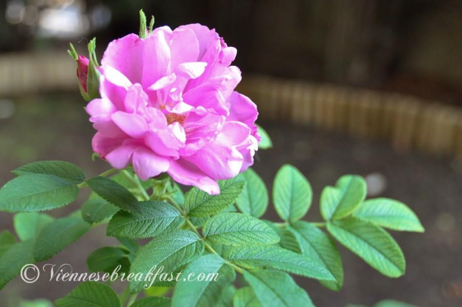 roza-18
