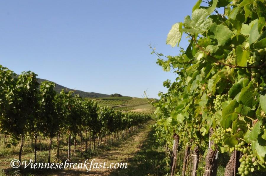 winnice-stare