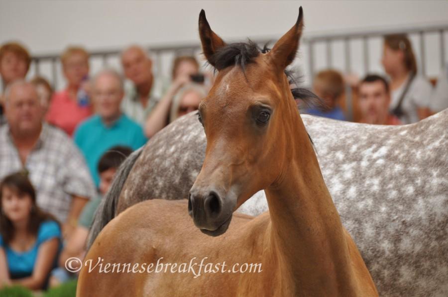 konie-a17