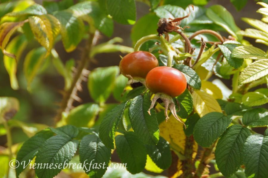 roza-owoc