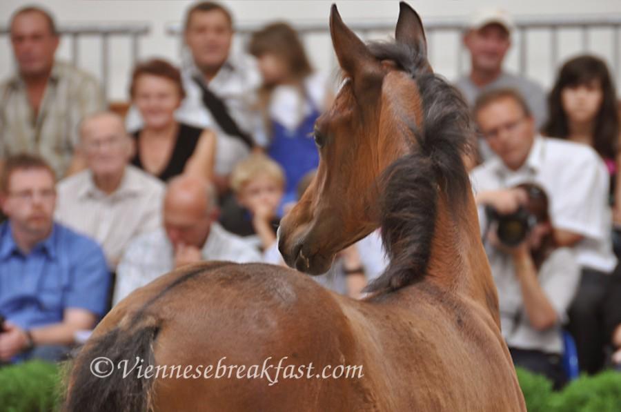 konie-a18