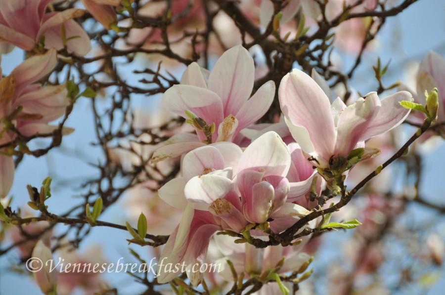 magnolia-nowa-4