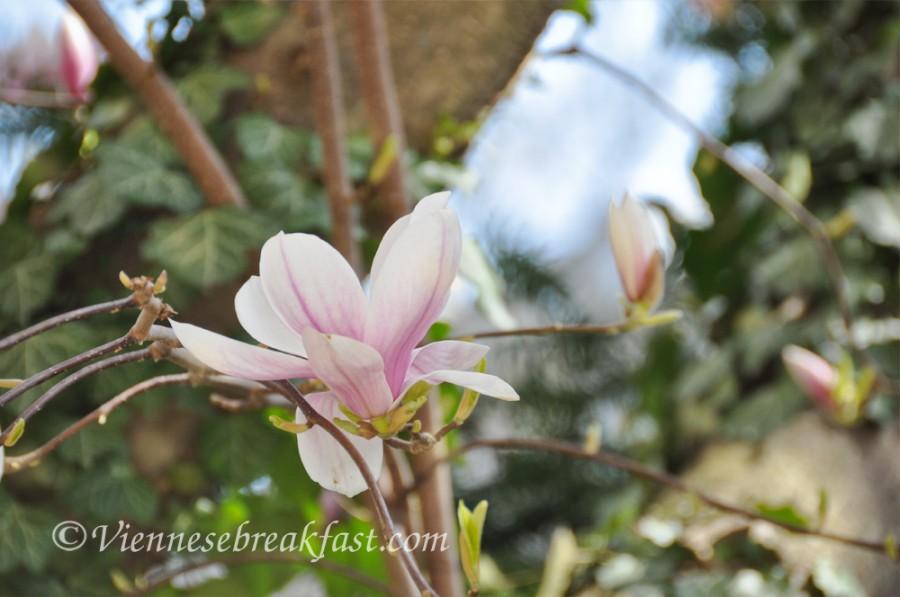 magnolia-nowa
