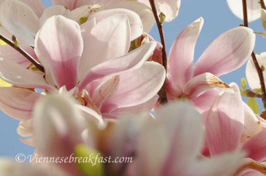 magnolia-nowa1