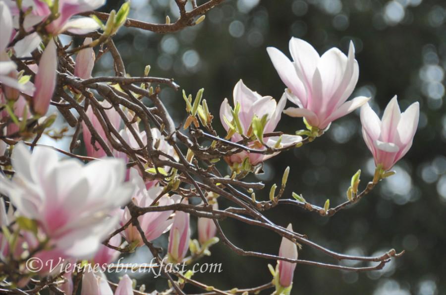 magnolia-nowa11