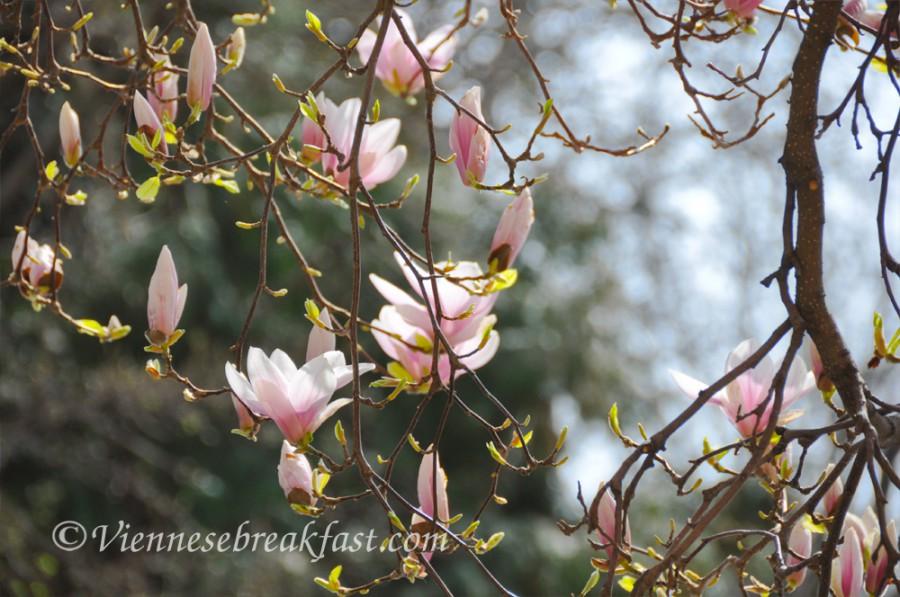 magnolia-nowa8