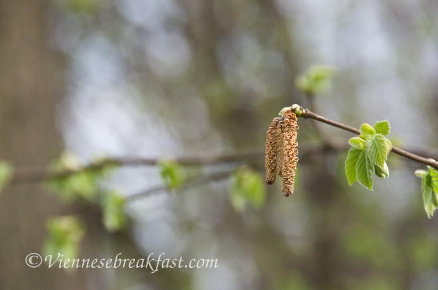 wiosna-brzoza