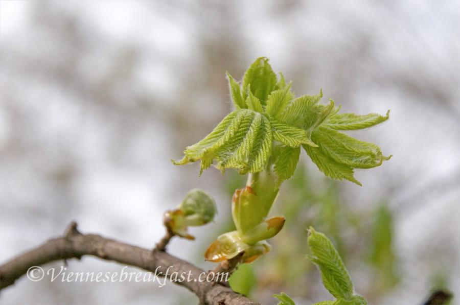 wiosna-kasztanowiec-3