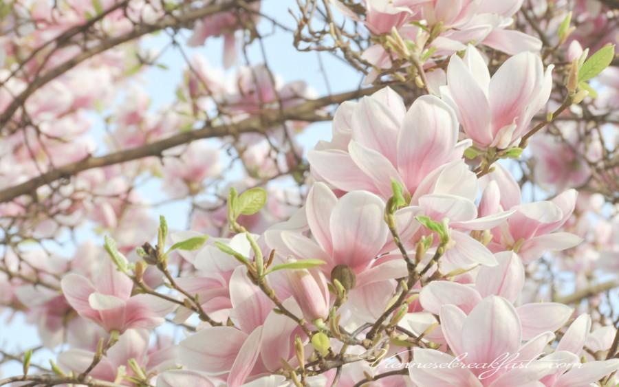 1280-x-800-magnolia-1