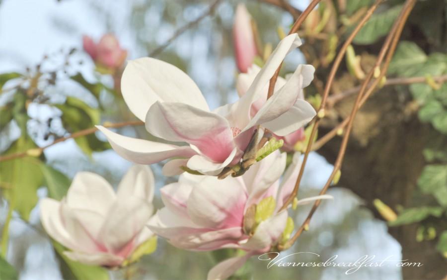 1280-x-800-magnolia2