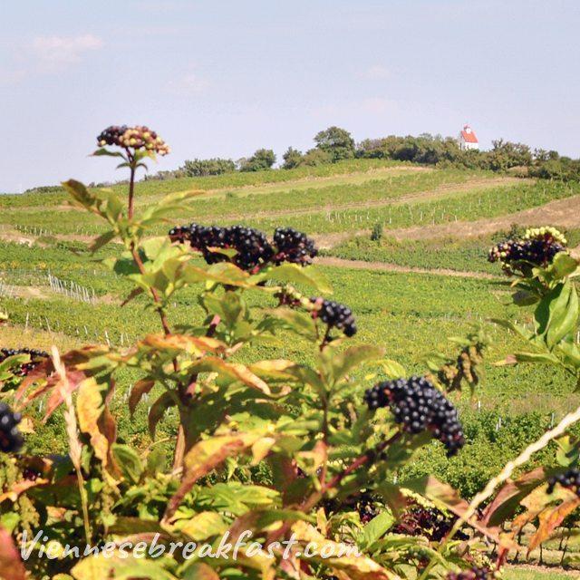 Czu ju jesie austria sterreich myaustria winnce vineyard