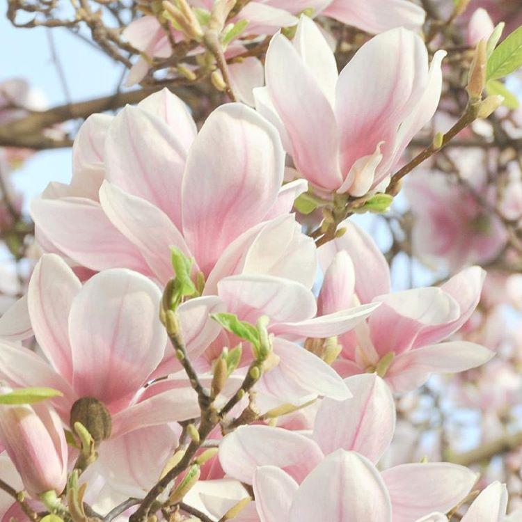 Zakwita Jest rowo wiosna frhling blumen spiring flauers kwiaty magnoliahellip